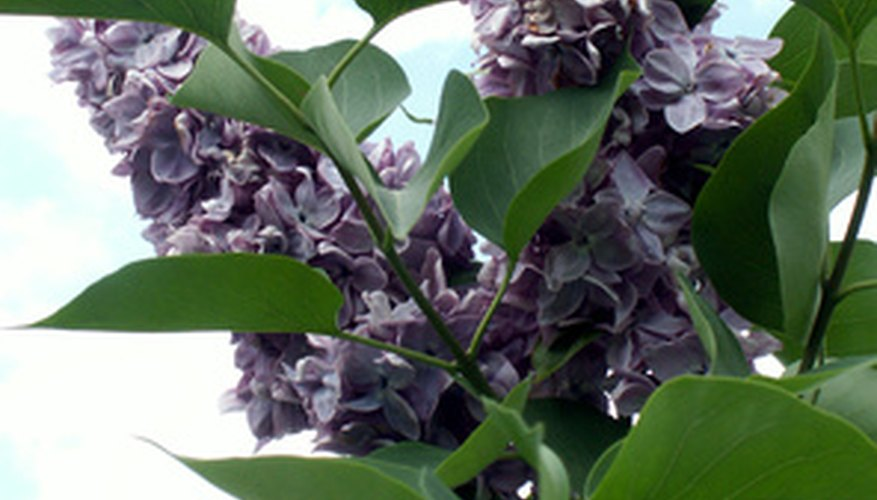 Lilacs produce cone-shaped clusters of sweetly scented flowers in spring.