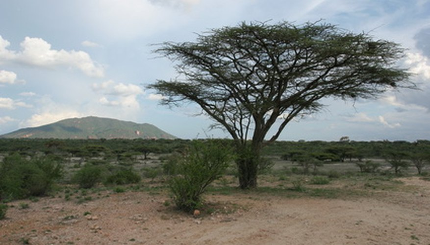 Many acacias, like this unidentified acacia, are tenacious trees.