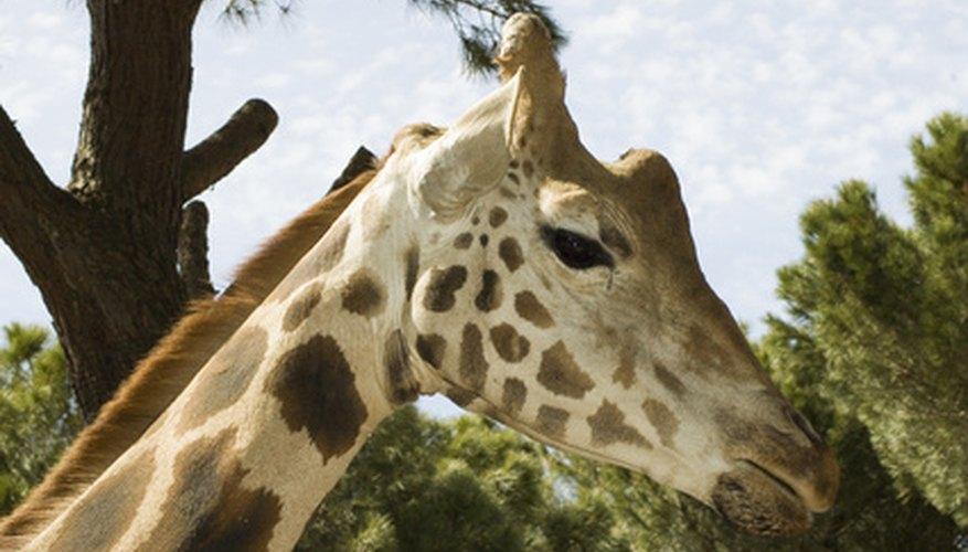 Los cuellos de ocho pies (2,43 metros) de las jirafas les permiten alcanzar lugares de alimentación que otros herbívoros no pueden.