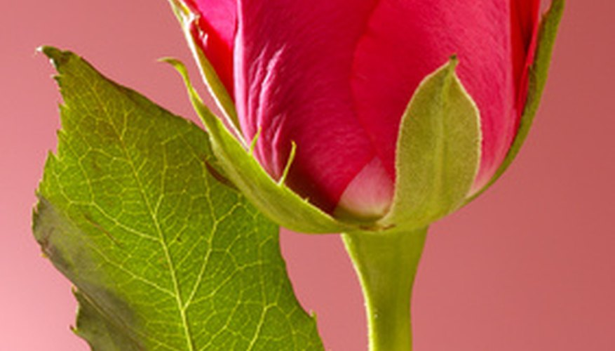 The hypanthium is the green enlarged base of the rose flower.