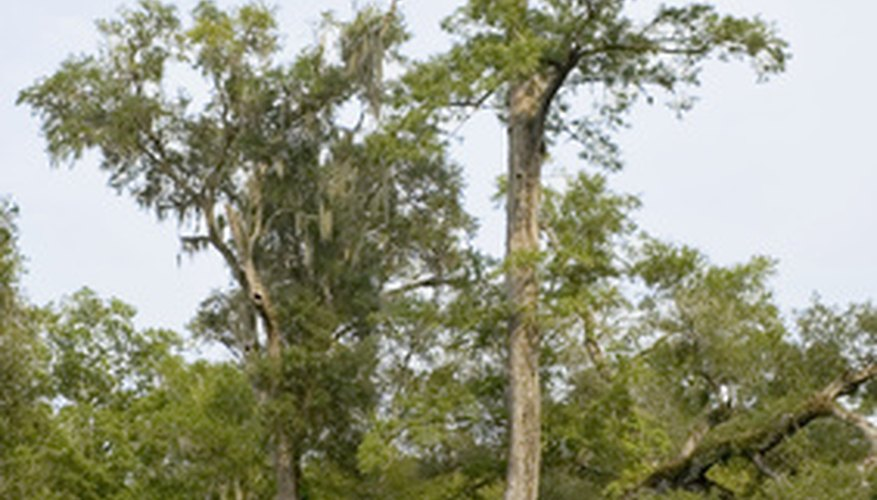 Some cypress trees grow to heights of 150 feet or more.