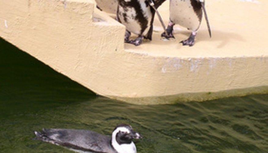 Los pingüinos de climas cálidos usan el agua para enfriar su cuerpo.