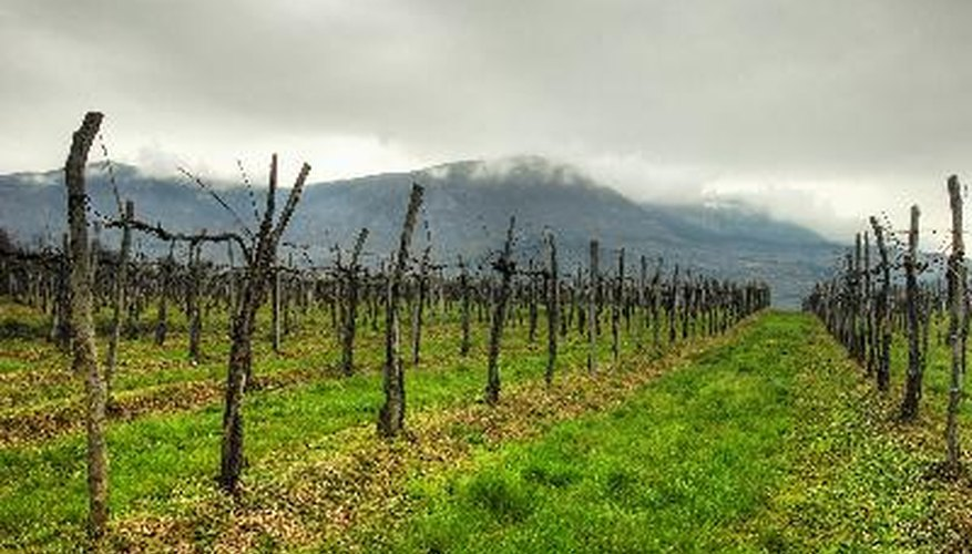 Dormant winter grapvines bear little resemblance to fruiting vines during growing season.