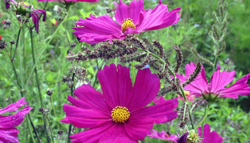 Plant cosmos at the back of the flowerbed border.