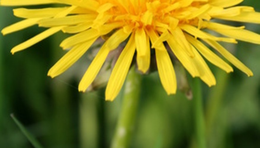 Make sure the dandelions you use are free of harsh chemicals.