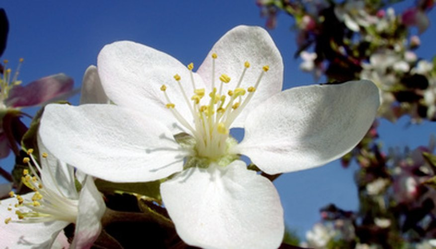 The largest blossoms in a cluster of apple blossoms is known as the king blossom.