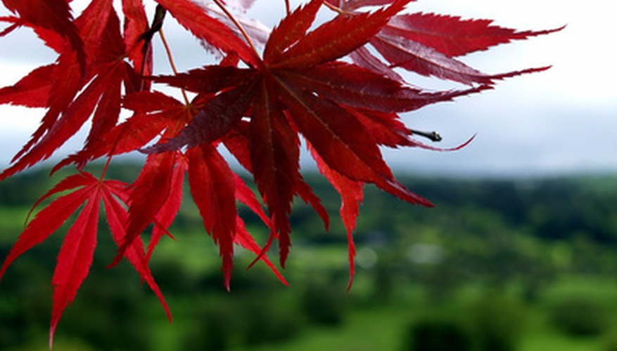 Leaves on a dwarf red Japanese maple tree
