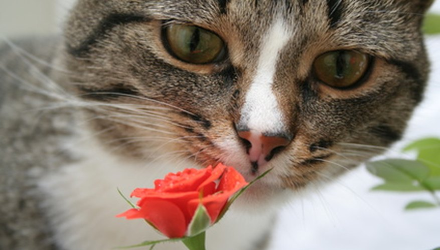 A curious feline examines a rose.