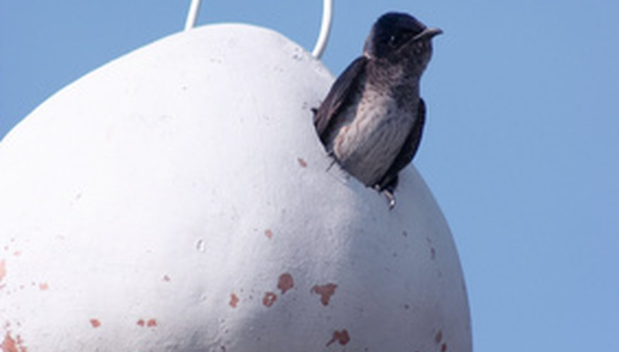 Purple martin peeking out of a gourd house