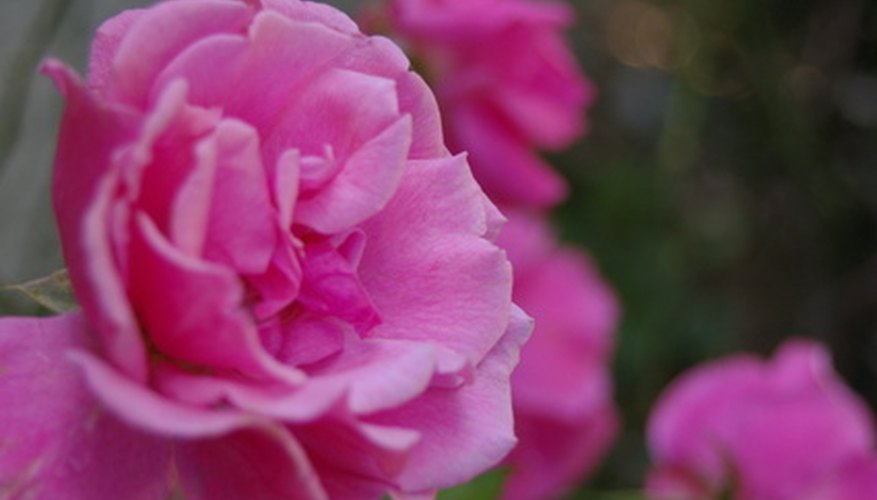 A well-pruned rose bush produces better blooms.