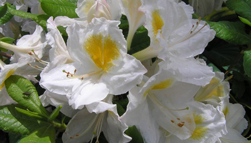 Rhododendrons thrive in acidic soil.