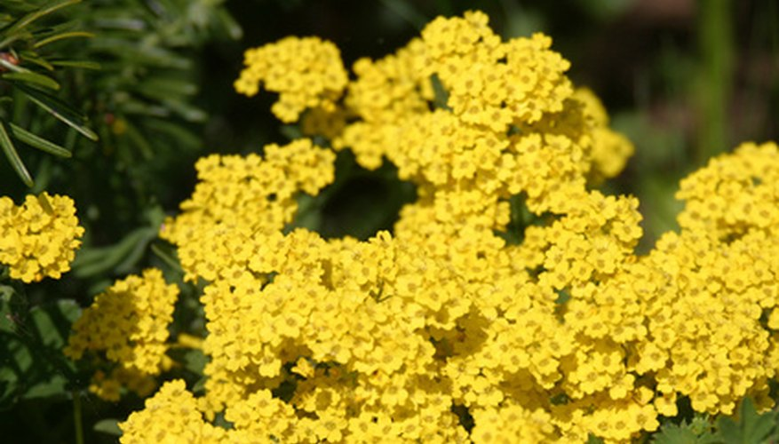 Dwarf yarrow is great for rock gardens
