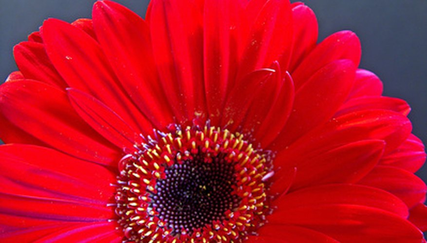 Gerbera daisies come in hundreds of color cominations, from pale cream to brilliant orange and red.