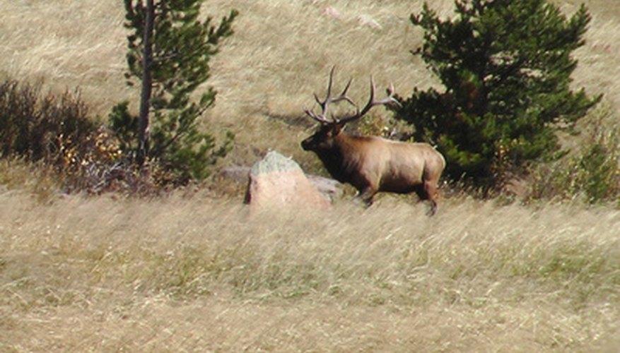 Elk Hunting Regulations for Colorado