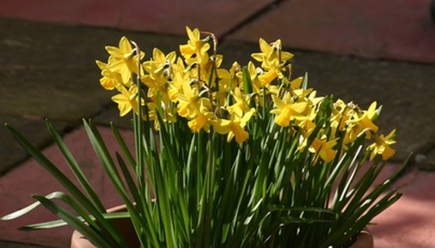 Plant daffodils in pots so you can place them around your garden.