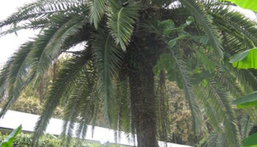 Pygmy palms are popular and hardy landscape trees.