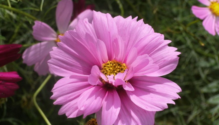 Cosmos are known for symnetrical flower petals.