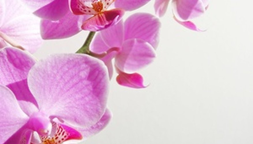 Thailand has over 1,000 orchid species.