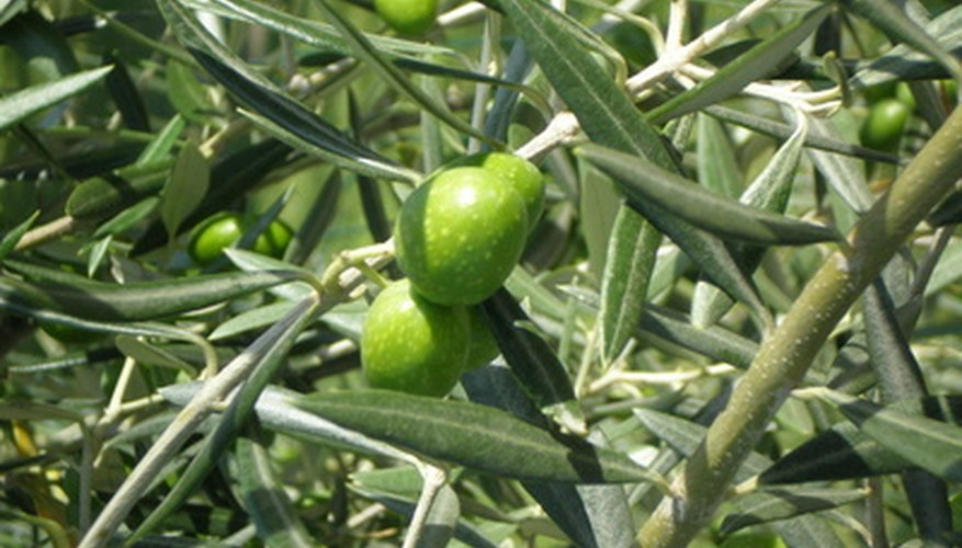 Olive trees grow well in Central Florida.