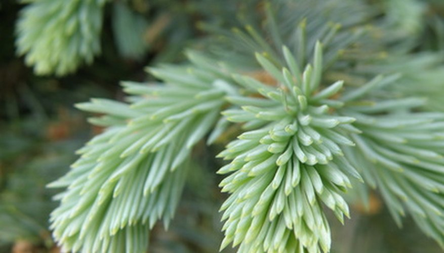 Dwarf sitka spruce foliage has a green to gray color.
