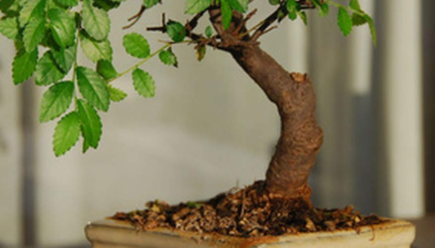 Though bonsai trees are susceptible to pest infestation, because of their small size, they are easy to treat.