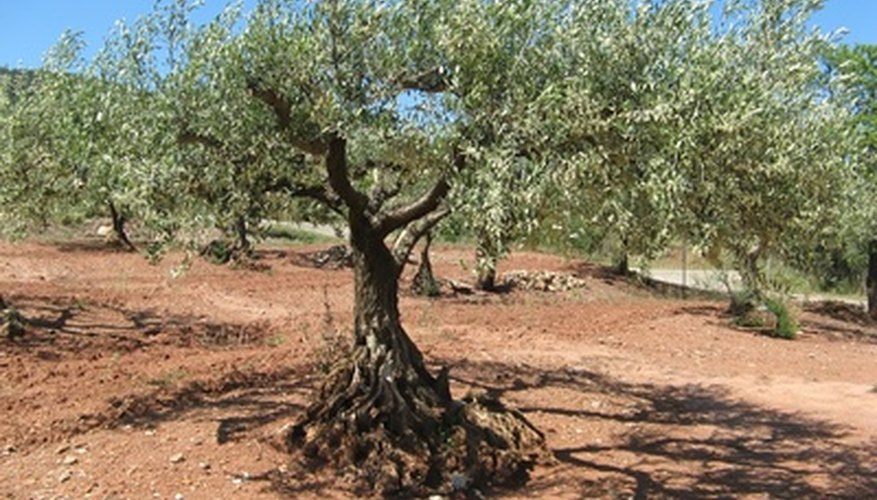 Native to Mediterrainean regions, olive trees can live for over 500 years.