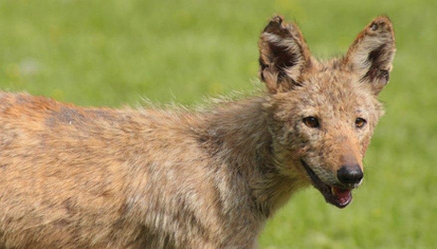 Los coyotes se mantienen frescos en las cuevas del desierto.
