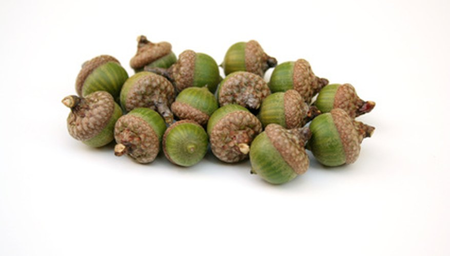 White oak acorns (Quercus alba)