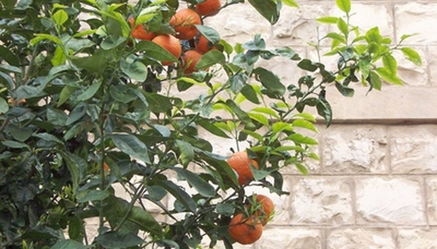 A tangerine tree with abundant fruit.