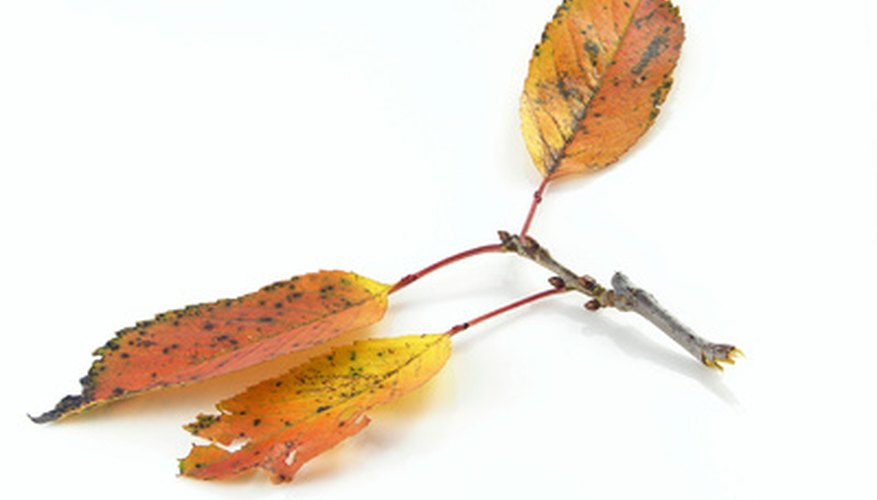 Leaf spots are a common shrub disease.