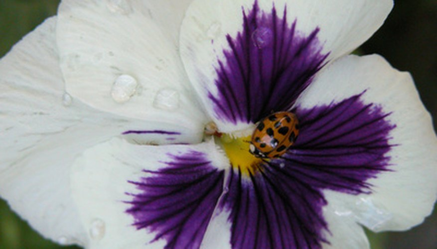 Different types of pansy flowers may be separated based on bloom size.