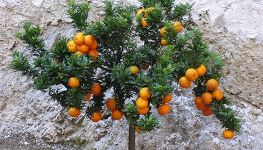 Citrus trees are easy to grow in containers.