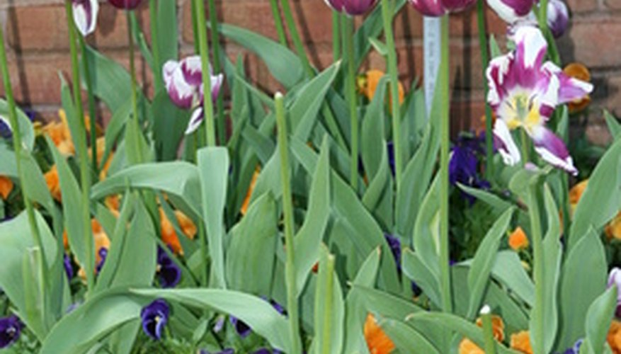 Tulips and pansies are popular bedding plants.