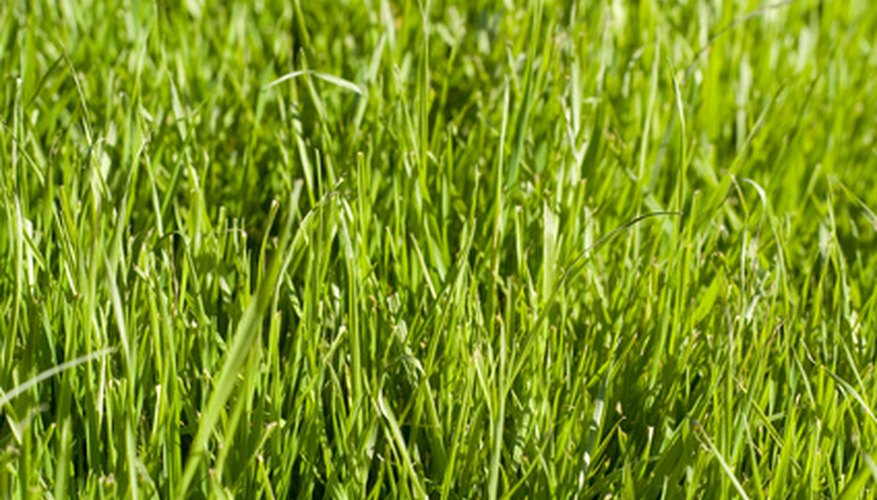 Aerating the lawn once or twice a year with a core aerator will produce healthier turf.