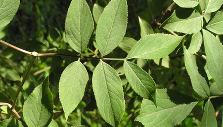 American elderberry leaves