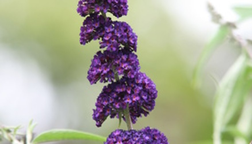 Long butterfly bush bloom spike