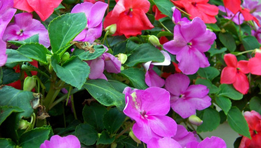 A colorful bushel of impatiens blossoms.