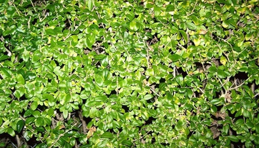Dense growth of the privet