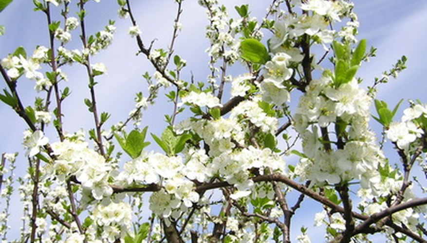 Plum trees are susceptible to infestation by beetles.