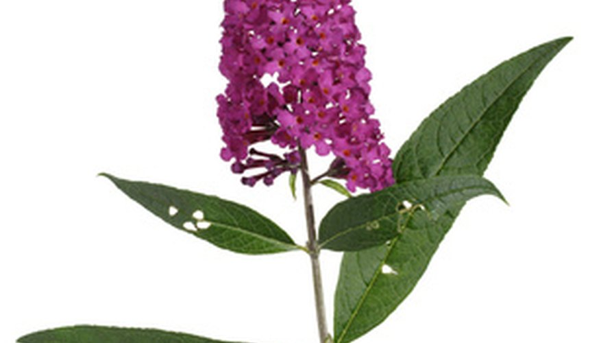The butterfly bush flower in full bloom.
