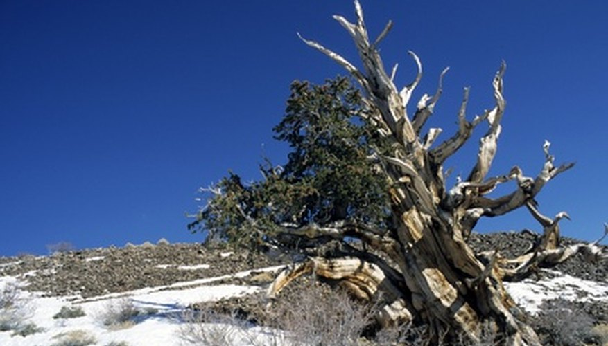 Old bristlecone pine tree