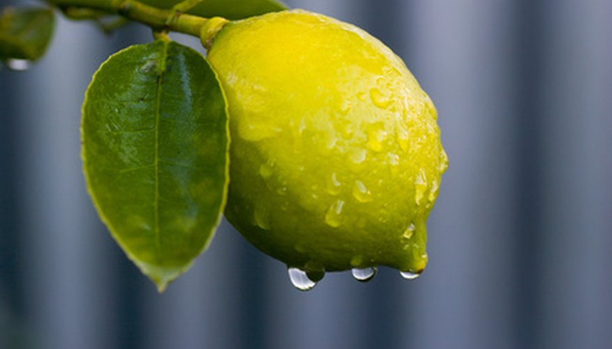 Lemon Tree Leaf Pictures
