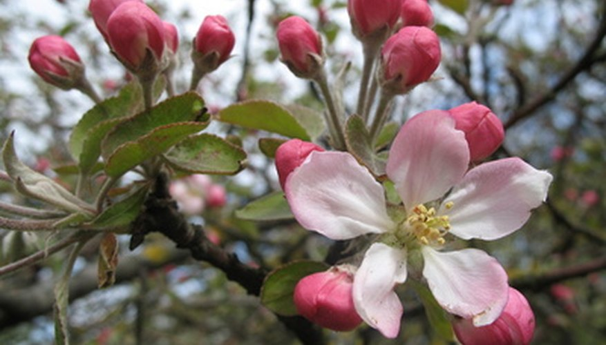 Fruit trees also produce lovely blossoms.