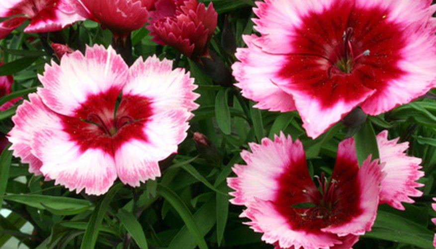 Dianthus Also Known As Sweet Williams Are Generally Not Attractive To Bees Especially Red Shades With Most Colored Blooms Ultras