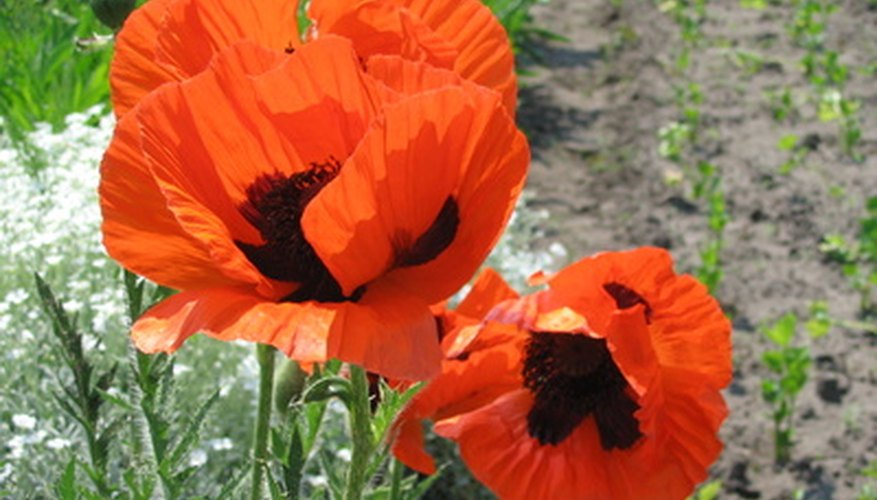 Poppies in full bloom.
