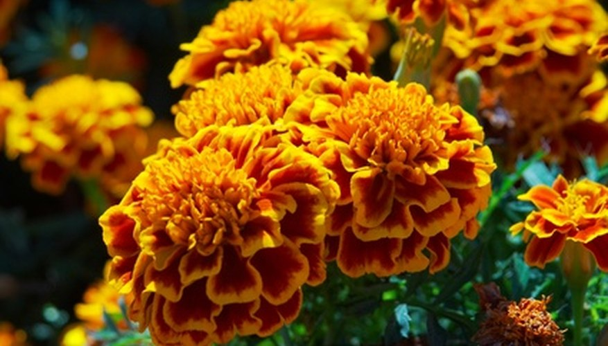 Marigolds grow rapidly.