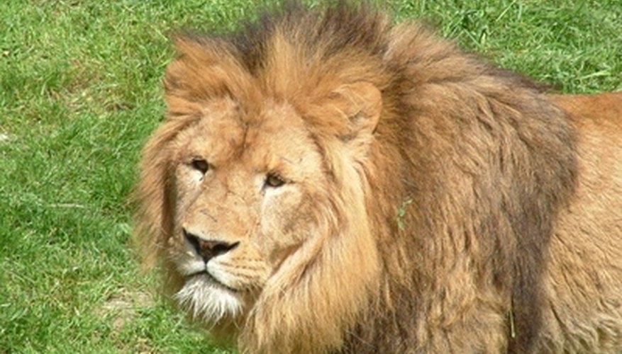 Los prados son el hogar del león.