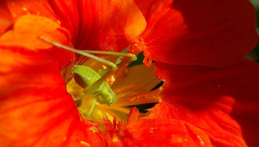 Nasturtiums are not attractive to flies.