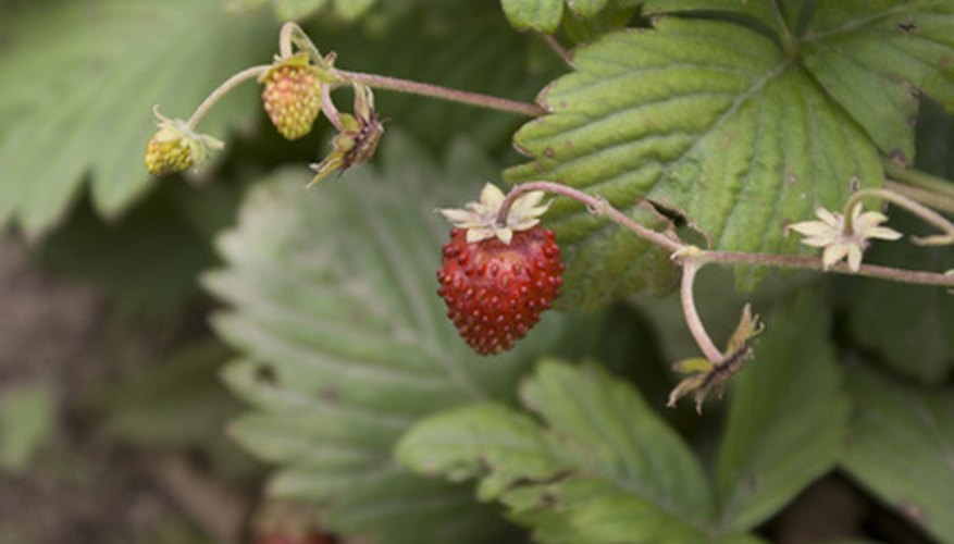 Grow your own strawberries in your Minnesota garden.