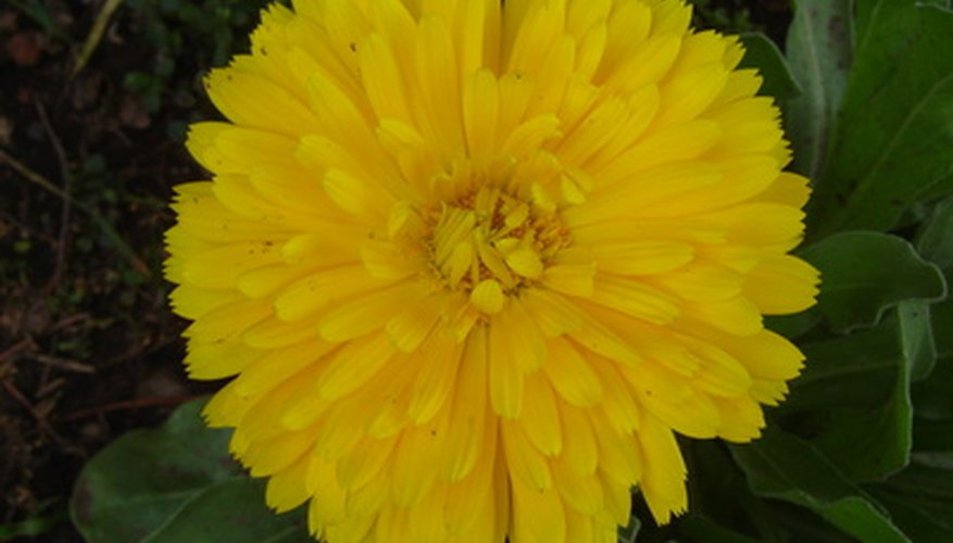 A yellow pot marigold flower